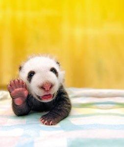 panda-hai